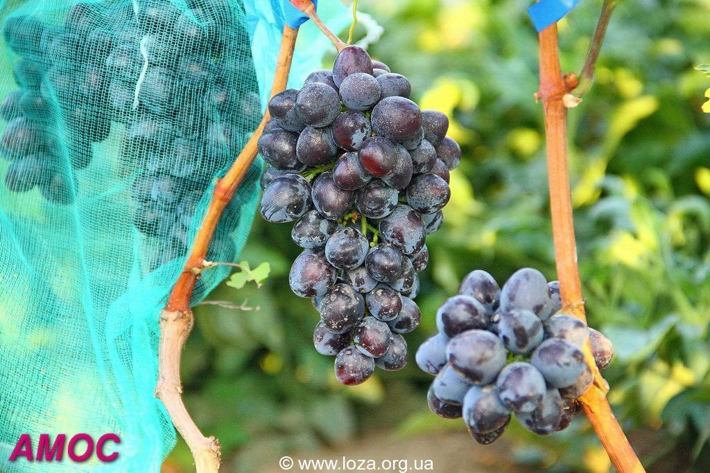 Сорт винограда подарок запорожью фото и описание  217