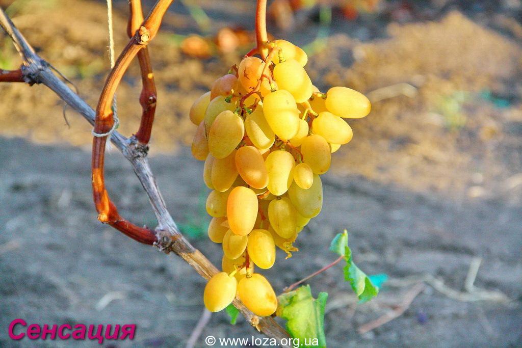 Сорт винограда фуршетный фото