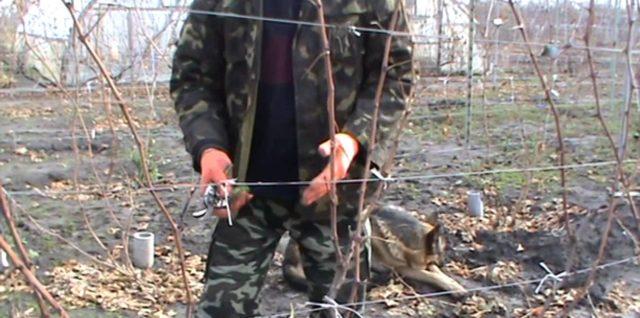 Виноград:обрезка и укрытие. (видео)