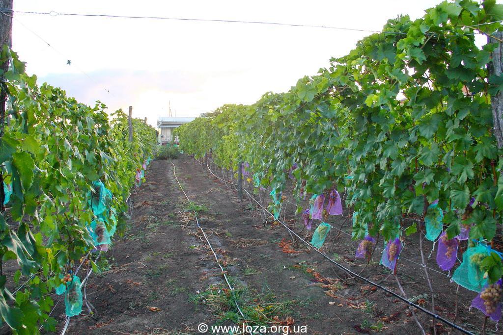 Виноград подарок описание сорта фото